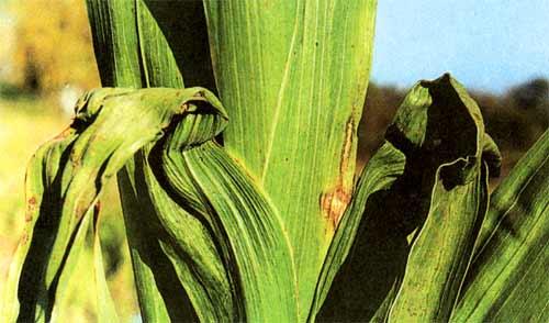 Листья гладиолуса, пораженные фузариозом